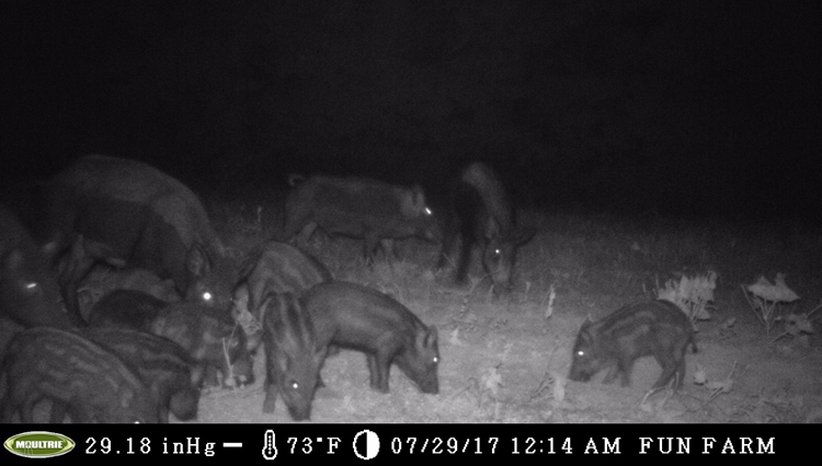 WeHuntSC Game Cam Pics of Nuisance South Carolina hogs
